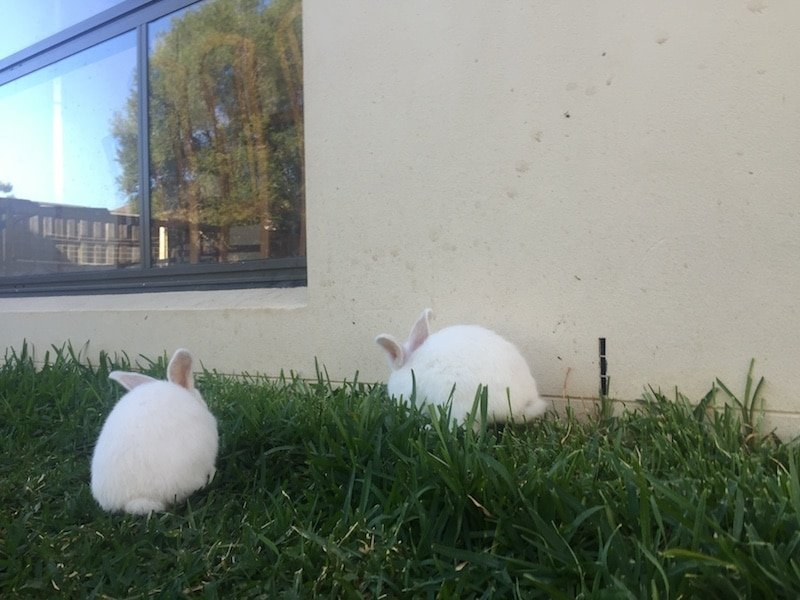 Bunnies Inside Or Outside Rabbits