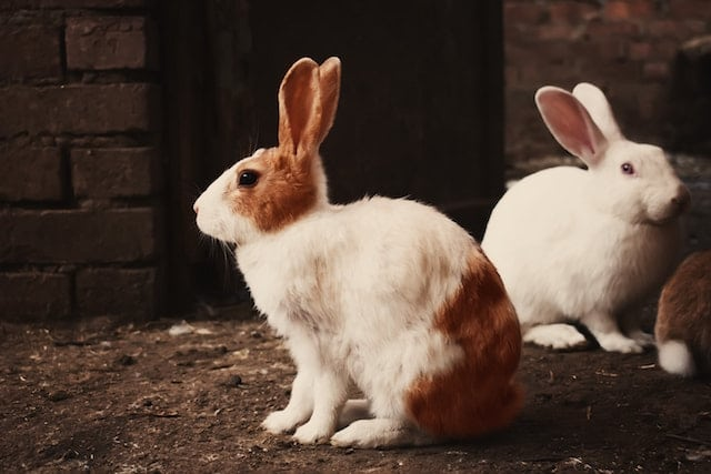 When should you neuter your bunny